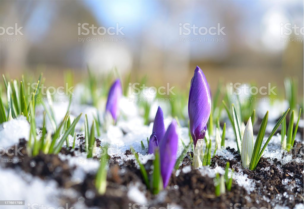 Close-up on crocuses emerging from snowy soil stock photo