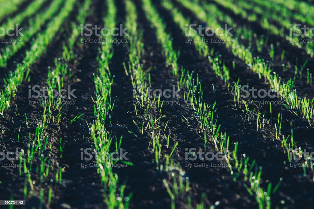 Closeup on field with young green shoots in sunlight stock photo