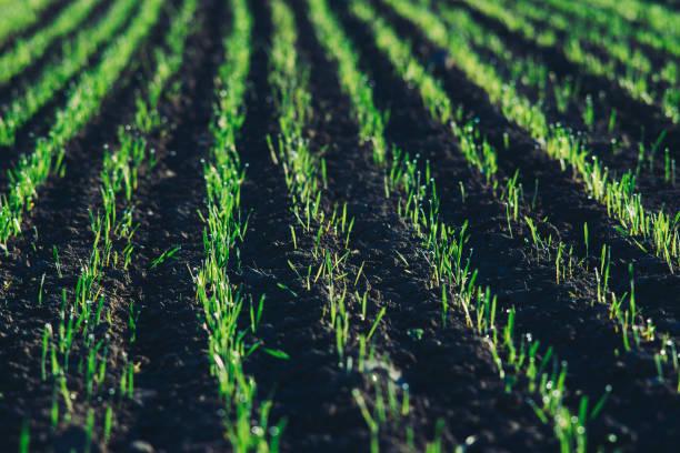 Closeup auf Feld mit jungen grünen Triebe in der Sonne – Foto