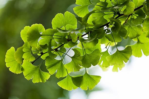 close-up on ginkgo biloba tree - ginkgo stock-fotos und bilder