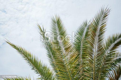 Closeup on green palm leaves border isolated on sky background, fresh exotic tree foliage, paradise beach