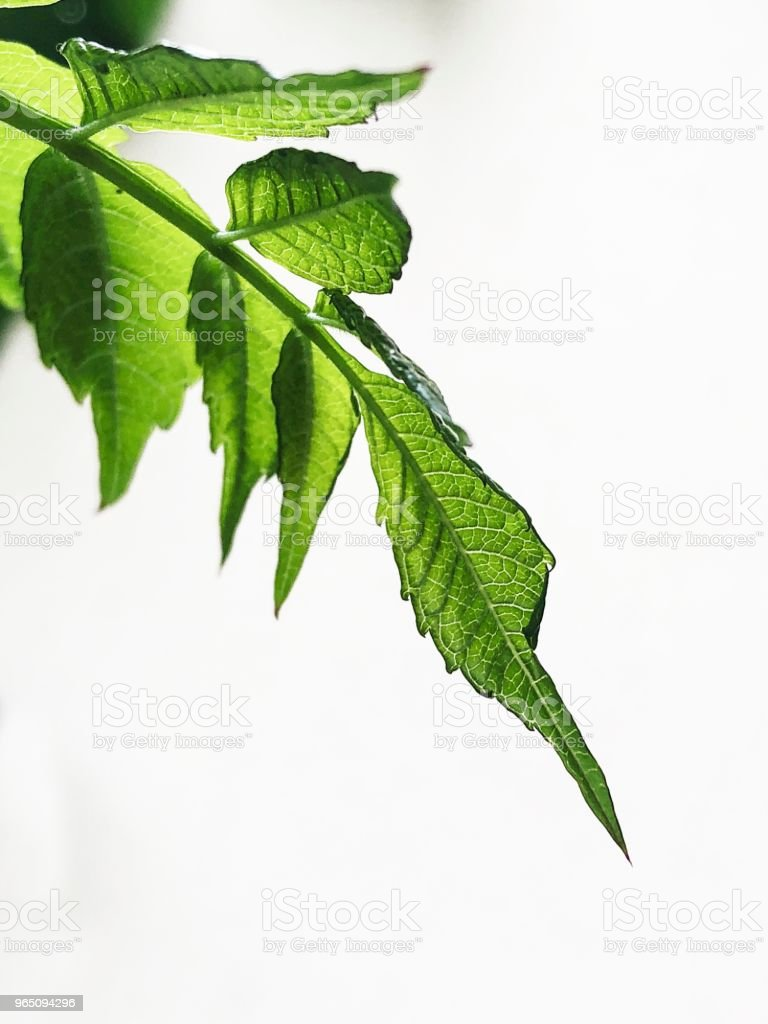 Closeup on green veiny leaves on white background royalty-free stock photo