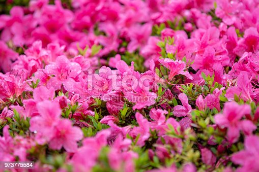 istock Close-up on many pink small field of flowers. 973775584