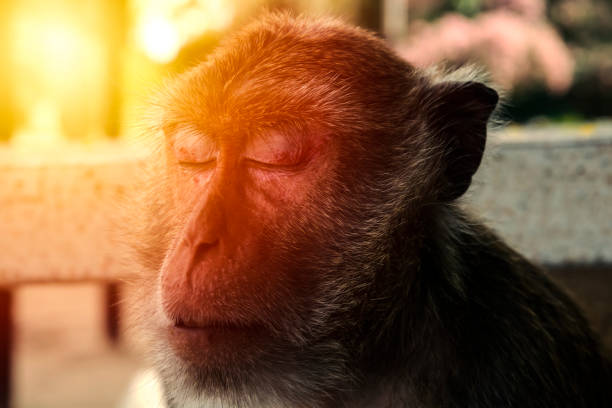 Nahaufnahme des Affen Gesicht. Schlafenden Affen. – Foto