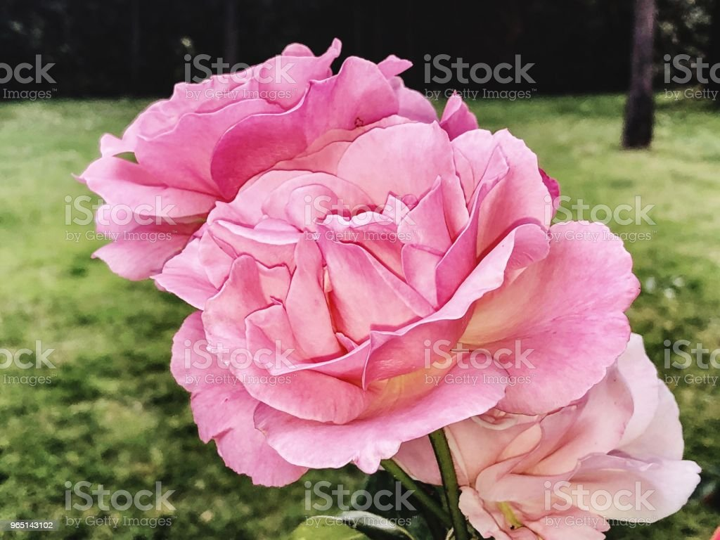 Closeup on pink roses flowers royalty-free stock photo