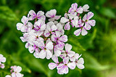 Closeup on purple gilliflower Hesperis matronalis