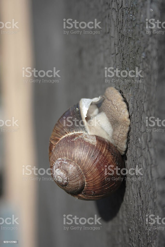 Close-Up on Snail royalty-free stock photo