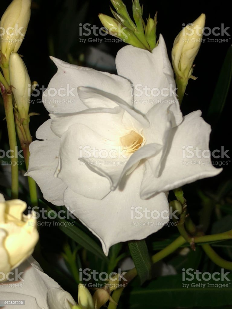 Closeup on white oleander flower stock photo more pictures of closeup on white oleander flower royalty free stock photo mightylinksfo