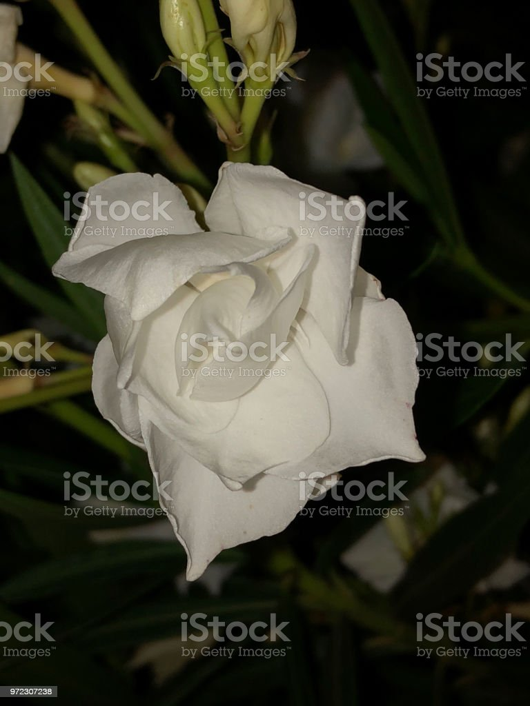 Closeup On White Oleander Flower Stock Photo More Pictures Of