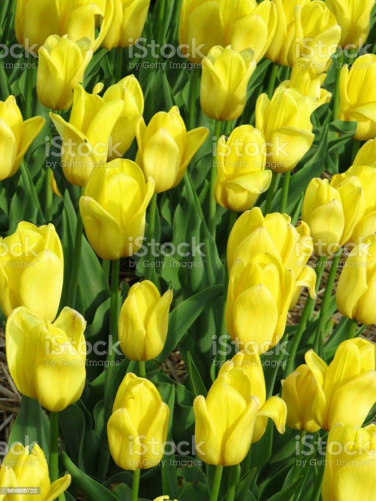 黃色鬱金香特寫 - 免版稅加拿大圖庫照片