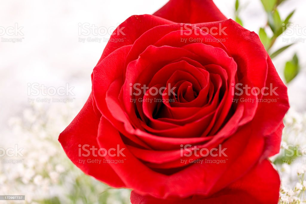 Close-up. One single red rose bud flower. Valentine's Day. stock photo