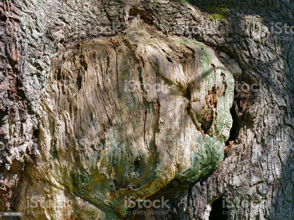 Close-up or the trunk of the Major Oak showing a scar stock photo