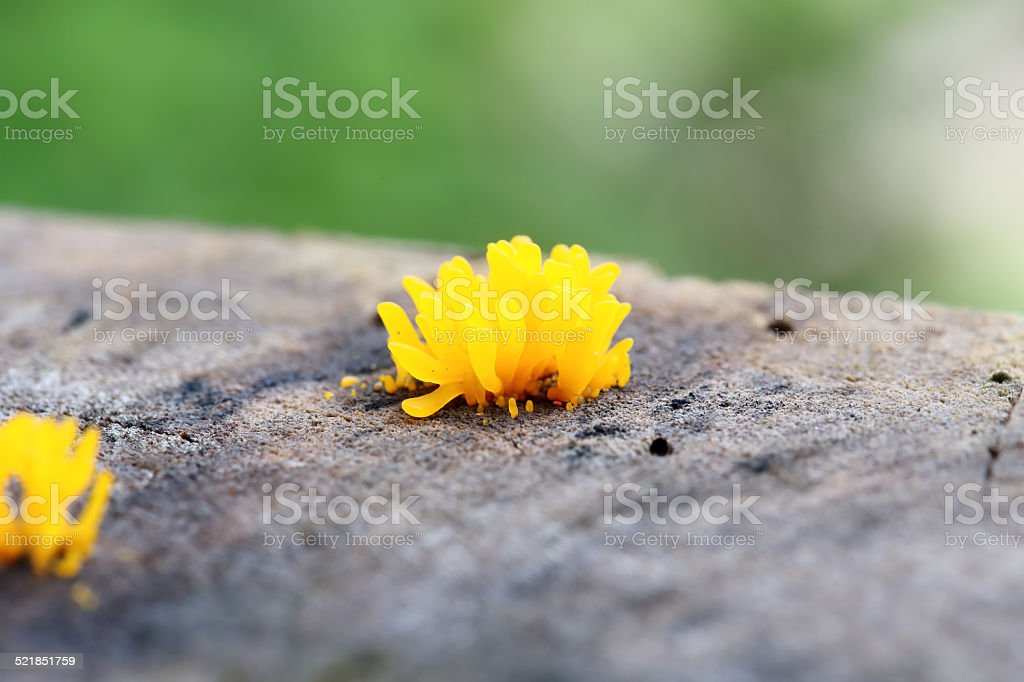 Close-up Orange mushroom (Dacryopinax spathularia) stock photo