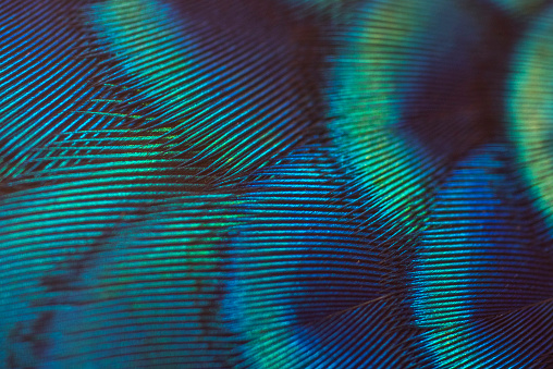 Beautiful close-up peacock feathers