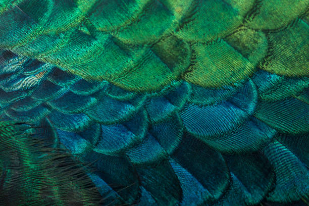 closeup peacock feathers closeup peacock feathers (Green peafowl) peacock feather stock pictures, royalty-free photos & images