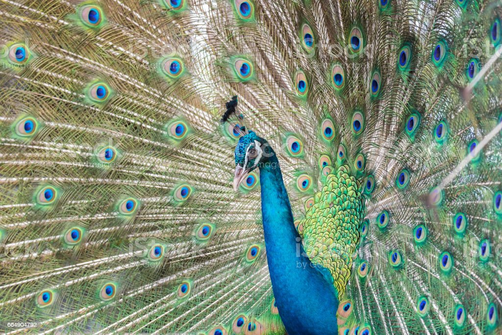 Close-up peacock on spreading tail-feathers foto stock royalty-free