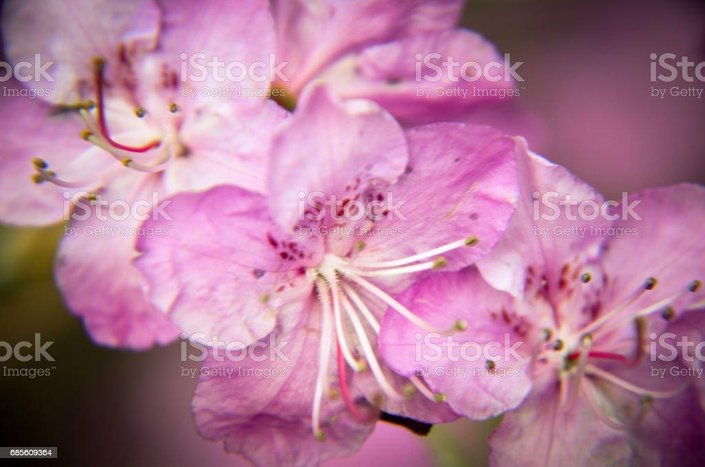 美麗的粉紅色杜鵑花的特寫照片 免版稅 stock photo