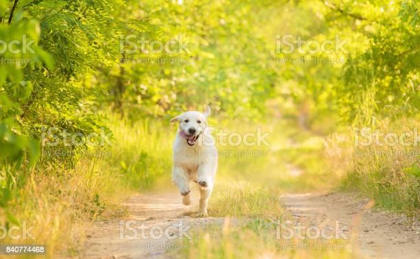 Closeup photo of a beauty labrador dog picture id840774468?b=1&k=6&m=840774468&s=612x612&h=1fskkda8foih46o4eqckaodw4jjjiw69mv1pizjzwmo=