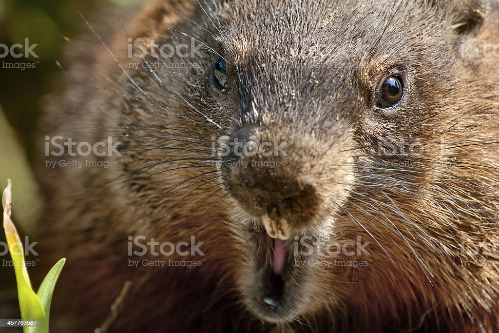 Close-up photo of a groundhog bearing it's teeth stock photo