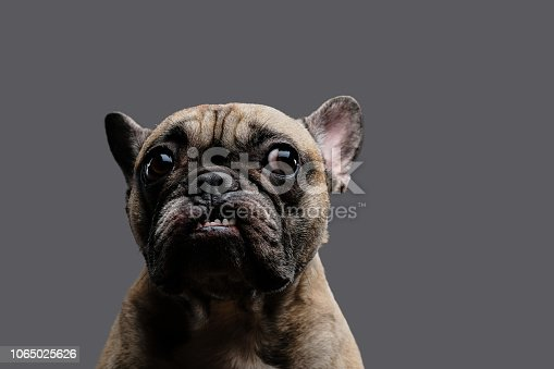 Close-up photo of a growling pug. Isolated on a gray background.