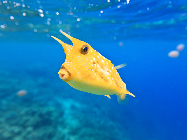Close-up photo of a Longhorn Cowfish underwater