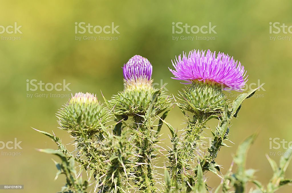 Closeup photo of a thistle wildflower stock photo