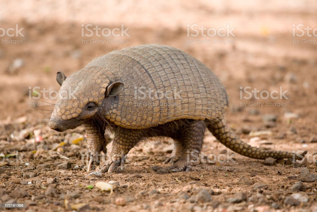Close-up photo of an ambling, brown armadillo stock photo