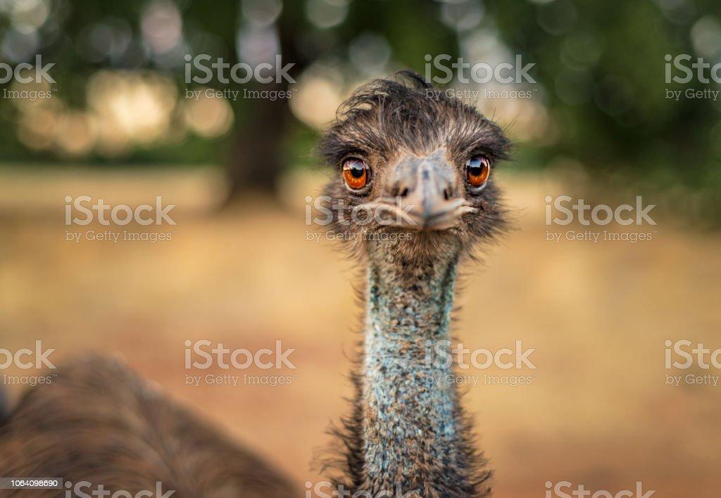 Foto de close-up de uma Ema com uma garganta azul e laranja olhos olhando para a câmera - foto de acervo