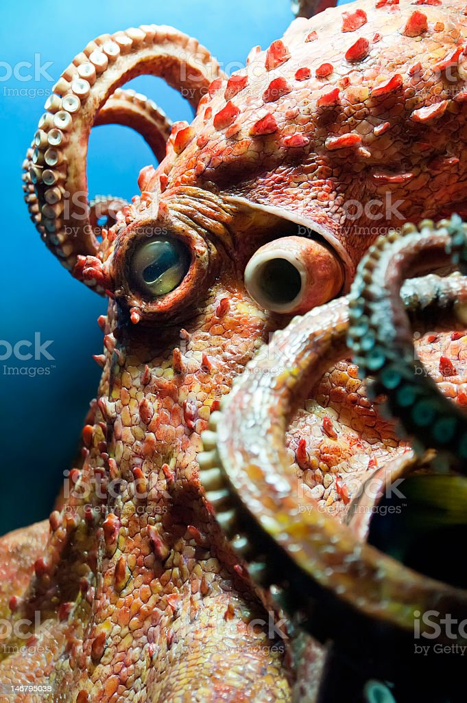 Close-up photo of an octopus showing it's tentacles stock photo