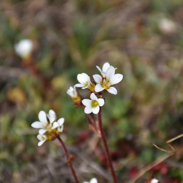 Closeup photo of blossom Saxifrage flowers stock photo