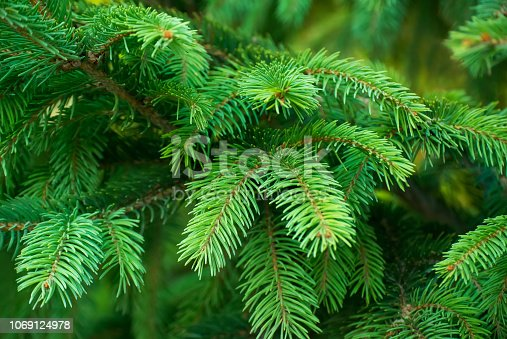 Close-up photo of colorful green branches of spruce. Great for background