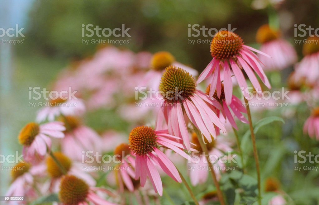 Close-up photo of echinacea flowers. Shot on film royalty-free stock photo