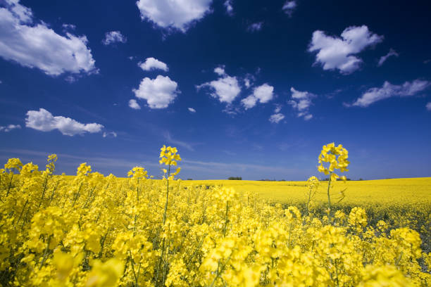 Close-up photo of flowers in a field and a bright blue sky stock photo
