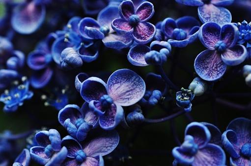 Closeup Photo Of Hydrangea Macrophylla — стоковые фотографии и другие картинки Азия