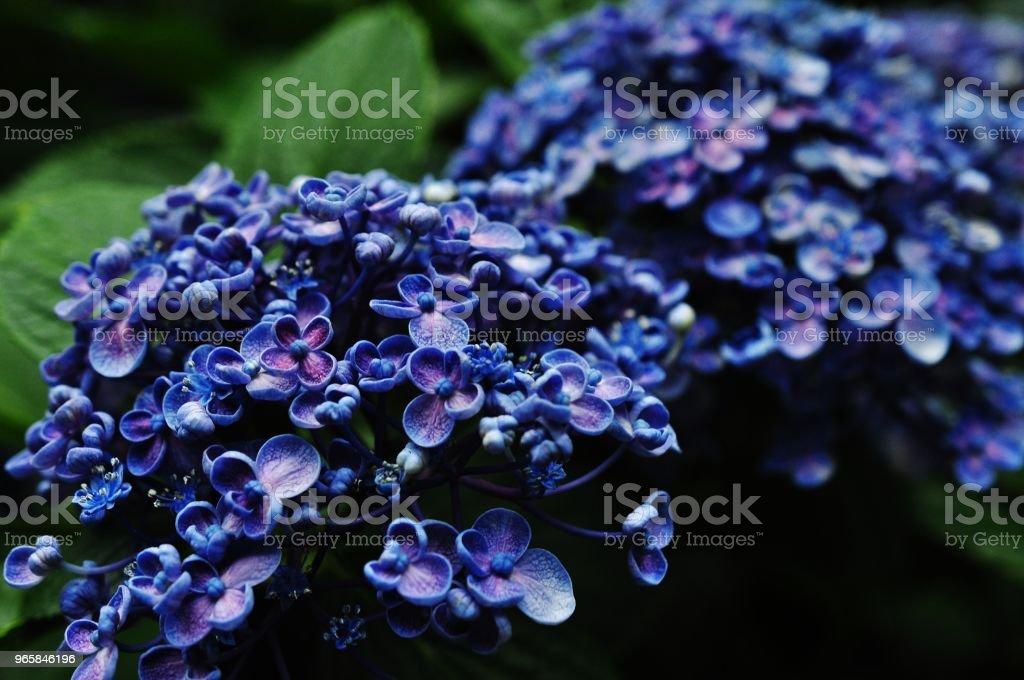 Close-up photo of Hydrangea macrophylla - Стоковые фото Азия роялти-фри