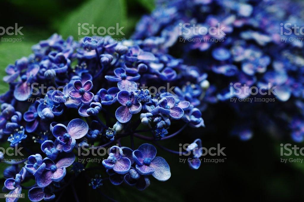 Närbild foto av Hydrangea macrophylla - Royaltyfri Asien Bildbanksbilder