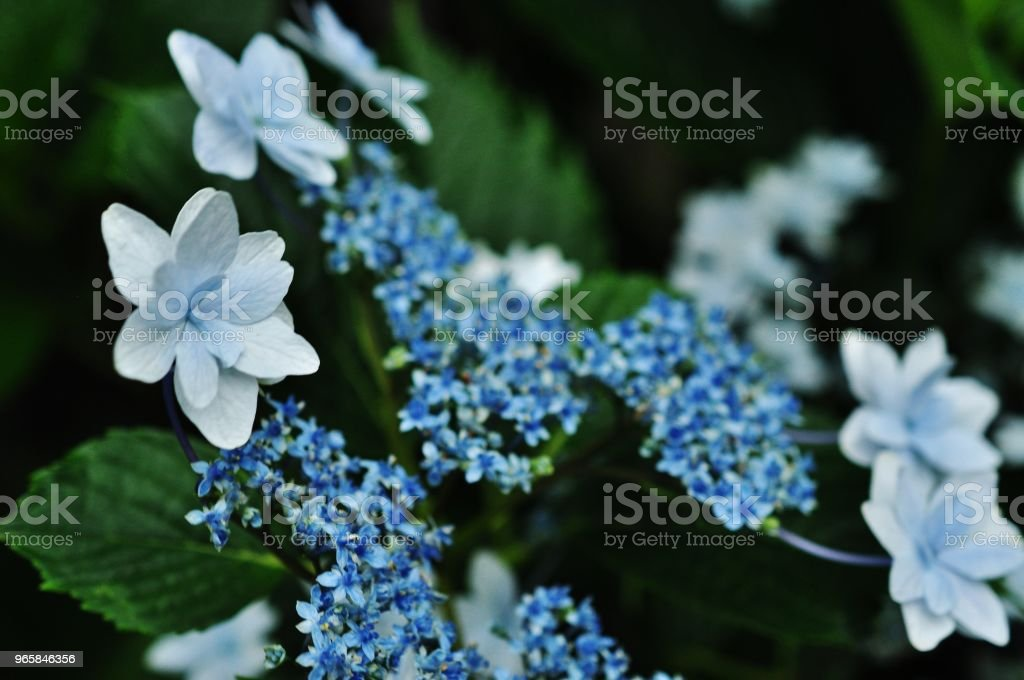 Close-up photo of Hydrangea macrophylla - Royalty-free Asia Stock Photo