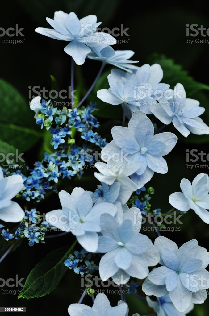 Close-up photo of Hydrangea macrophylla - Royalty-free Asia Stock Photo
