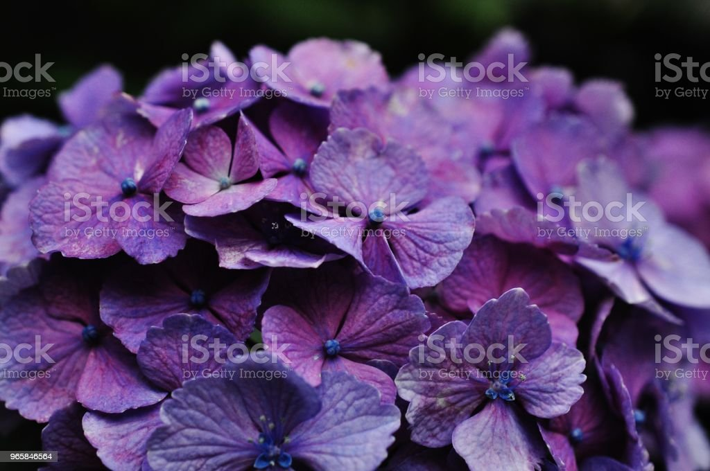 Close-up foto van Hydrangea macrophylla - Royalty-free Azië Stockfoto