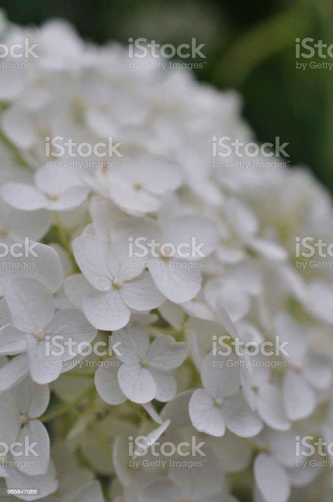 Close-up photo of Hydrangea macrophylla Hydrangea macrophylla is a species of flowering plant in the family Hydrangeaceae, native to Japan. Asia Stock Photo