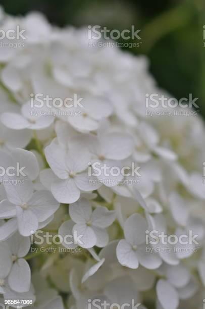 Closeup Photo Of Hydrangea Macrophylla Stock Photo - Download Image Now