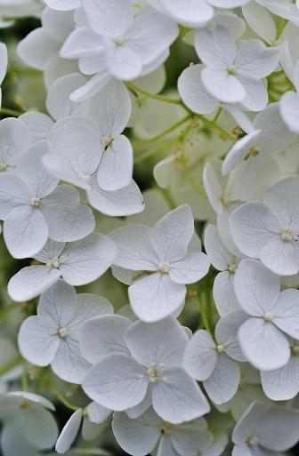Closeup Foto Van Hydrangea Macrophylla Stockfoto en meer beelden van Azië