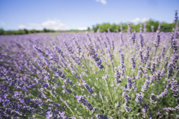 Closeup photo of lavender flowers with bees on it, in a summer time stock photo