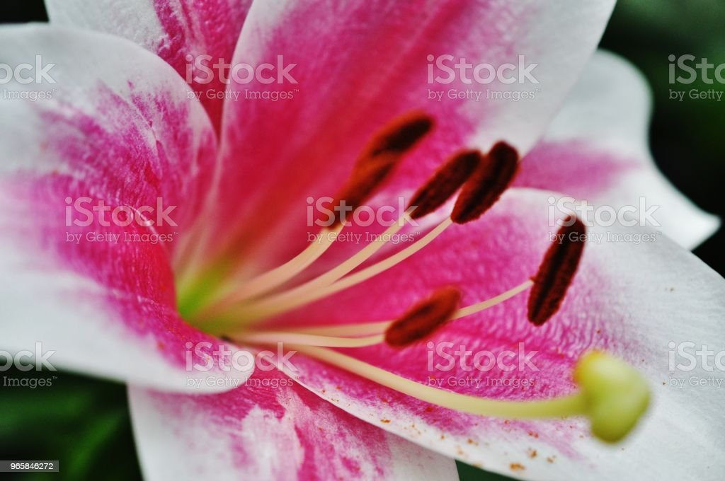 Close-up foto van Lily - Royalty-free Bloem - Plant Stockfoto