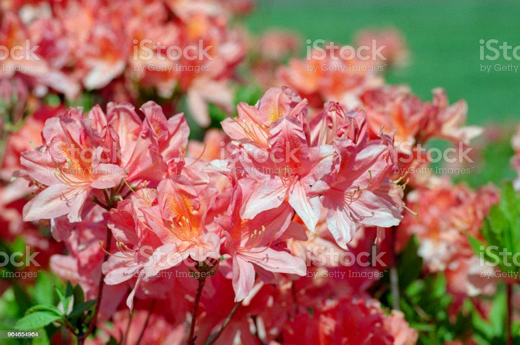 Close-up photo of orange rhododendron bunch of flowers. Shot on film royalty-free stock photo