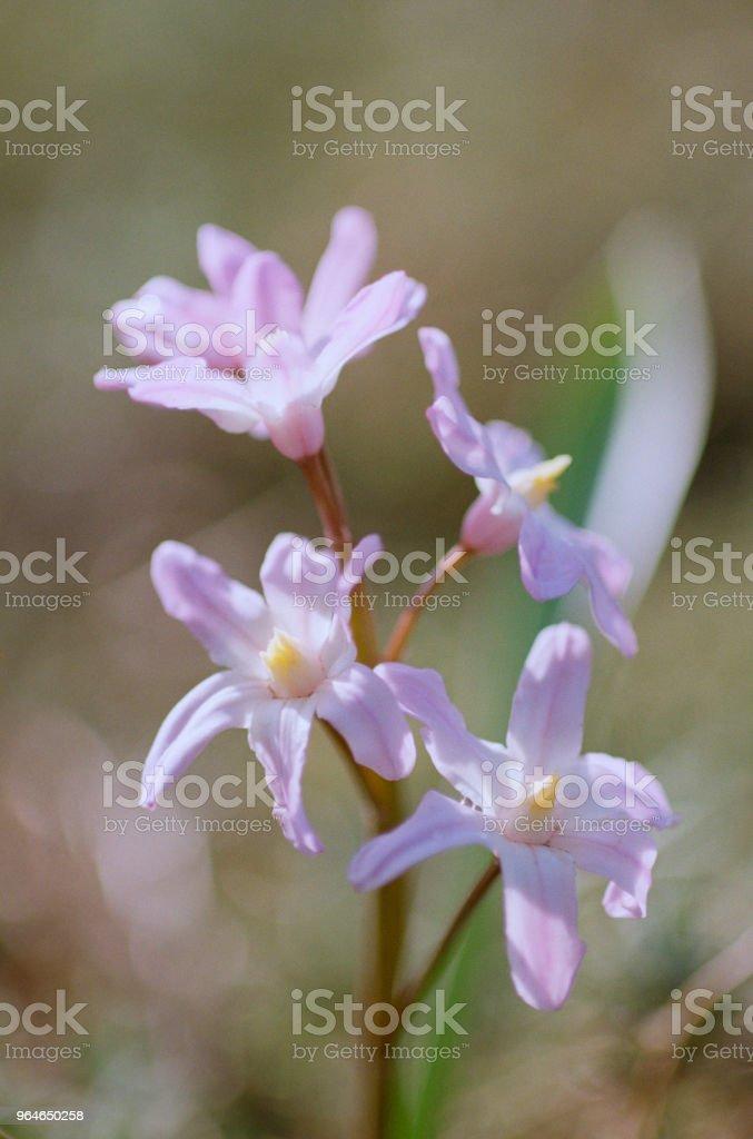 Close-up photo of pink chionodoxa flower. Shot on film royalty-free stock photo