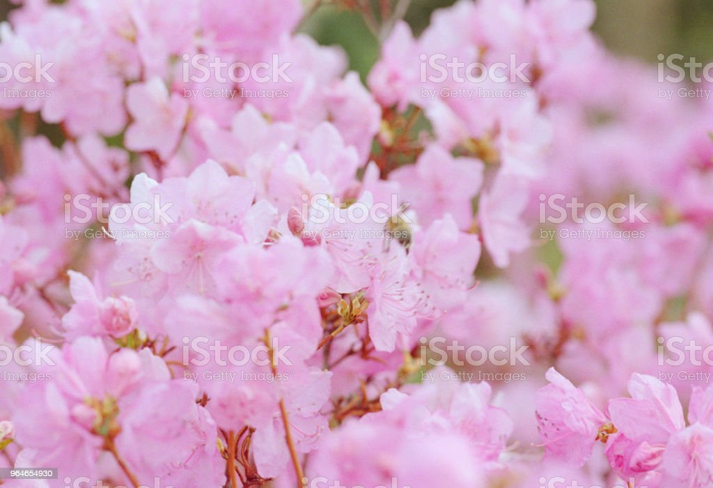 Close-up photo of pink rhododendron flowerbed. Shot on film royalty-free stock photo