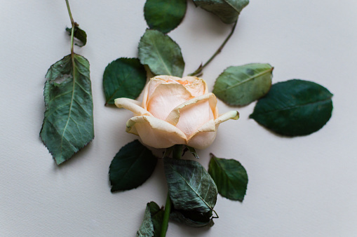 Close-up photo of the cream colour rose with fallen leaves on the pink pastel background. Women's day concept.