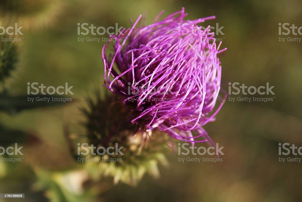 Close-up photo of thistle royalty-free stock photo