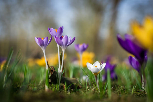 Close-up photo of various Dutch Crocus Vernus flowers in early spring stock photo